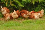 Plea To Control Dogs After Chickens Attacked