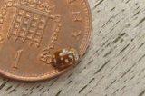 Rare Ladybird Seen On Tresco