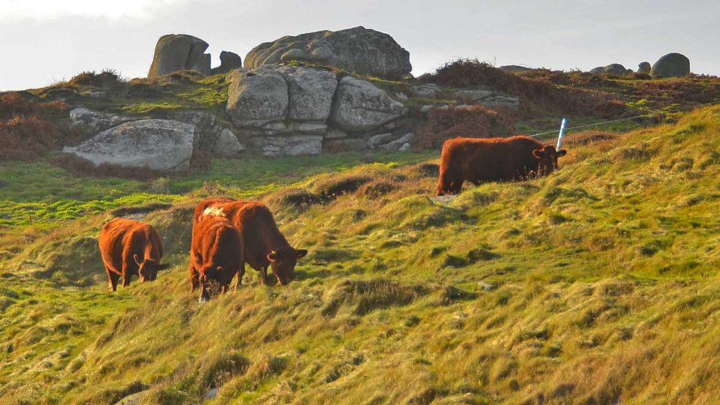 grazing cattle peninnis