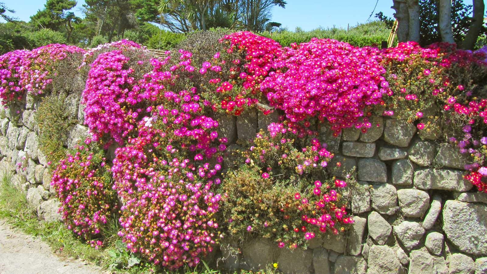 Liz Askins' Scilly Flower Of The Week 10th Dec 2014