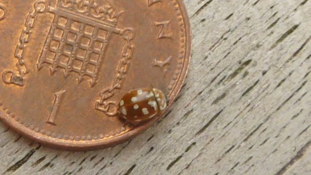 18spot ladybird_Pam Moorhouse
