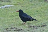 'Scilly' Choughs Probably From Ireland Say Scientists