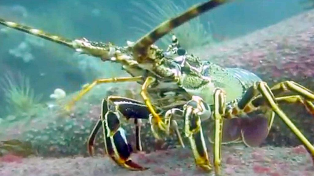 crayfish scilly