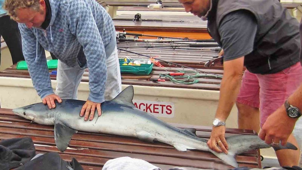 A blue shark on board the Sapphire. Photo by Robin Mawer.