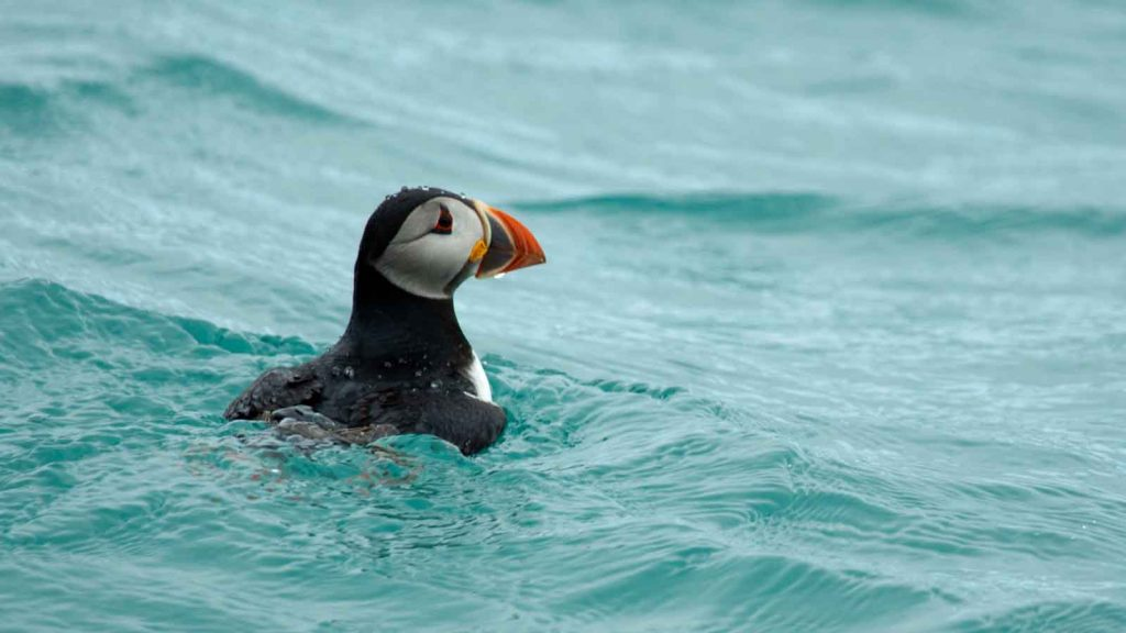 Steven_Burbidge-Puffin_Nature and Wildlife