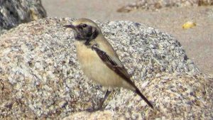 The desert wheatear, photographed by Robin Mawer
