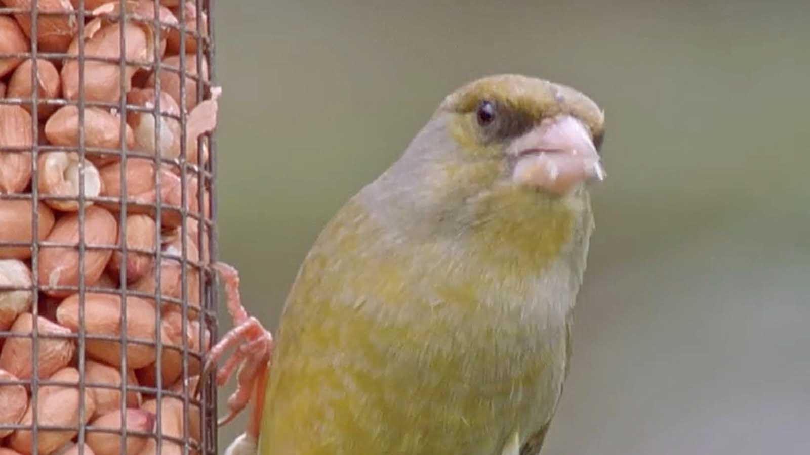 Jaclyn Pearson On Protecting Greenfinches