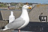 Scilly's Dwindling Gulls Defended As National Backlash Continues