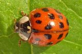 Watch Out For Invasive Harlequin Ladybird