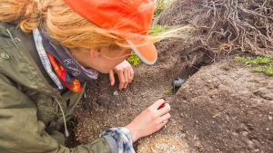 Monitoring a Manx shearwater burrow. Photo by Ed Marshall.