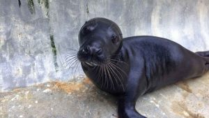 Badger the rare black seal pup rescued from Porthellick last year. Photo from Cornish Seal Sanctuary