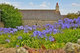 Agapanthus Disease Unlikely To Threaten Scilly